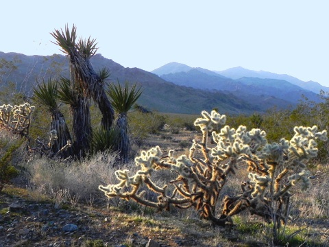 Yucca and Cholla cactus along Hwy 247